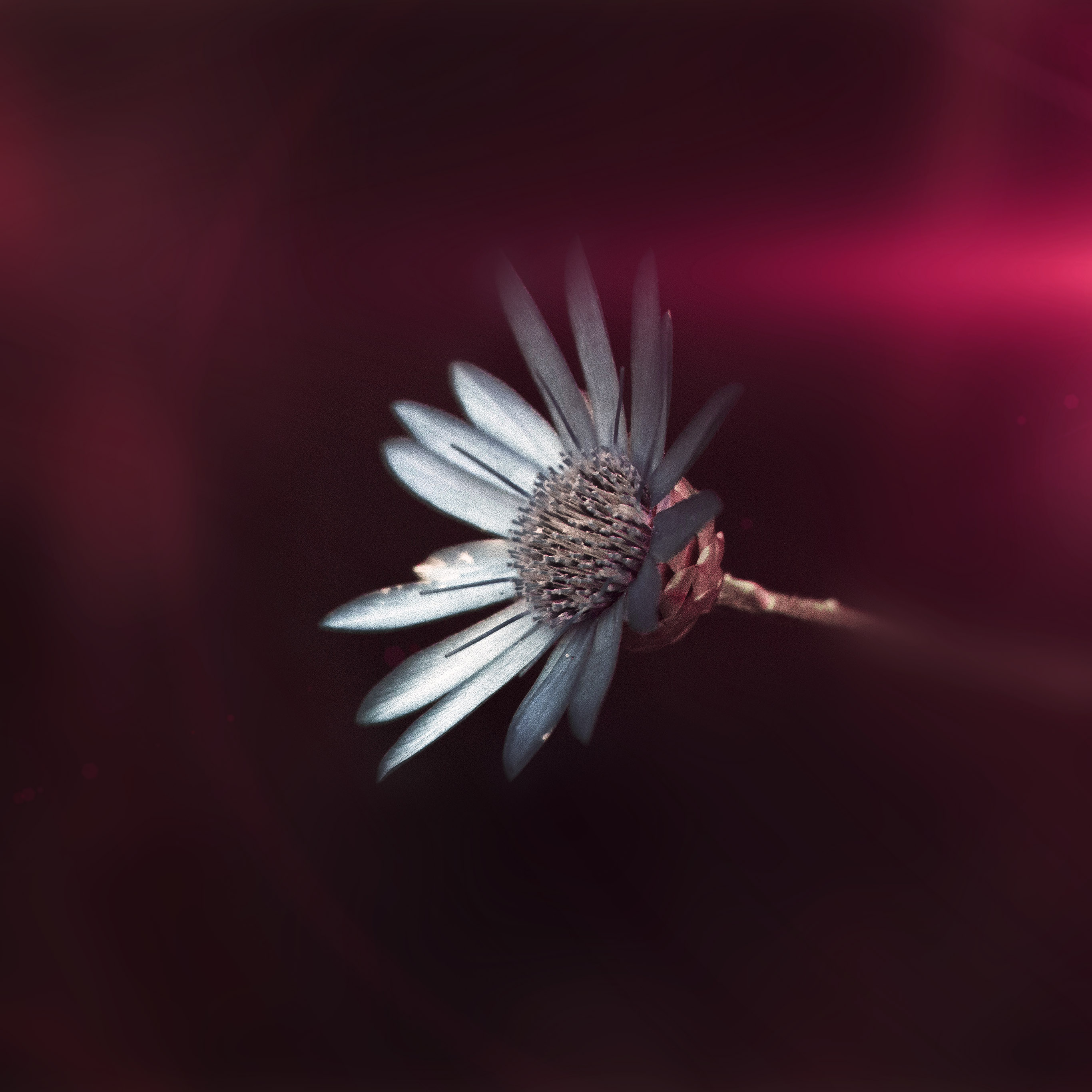 Ni46 Flower Awesome Gorgeous Magnificent Dark Pink Wallpaper