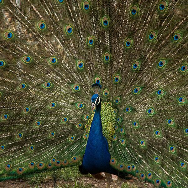 iPapers.co-Apple-iPhone-iPad-Macbook-iMac-wallpaper-ni68-peacock-animal-beautiful-nature-wallpaper