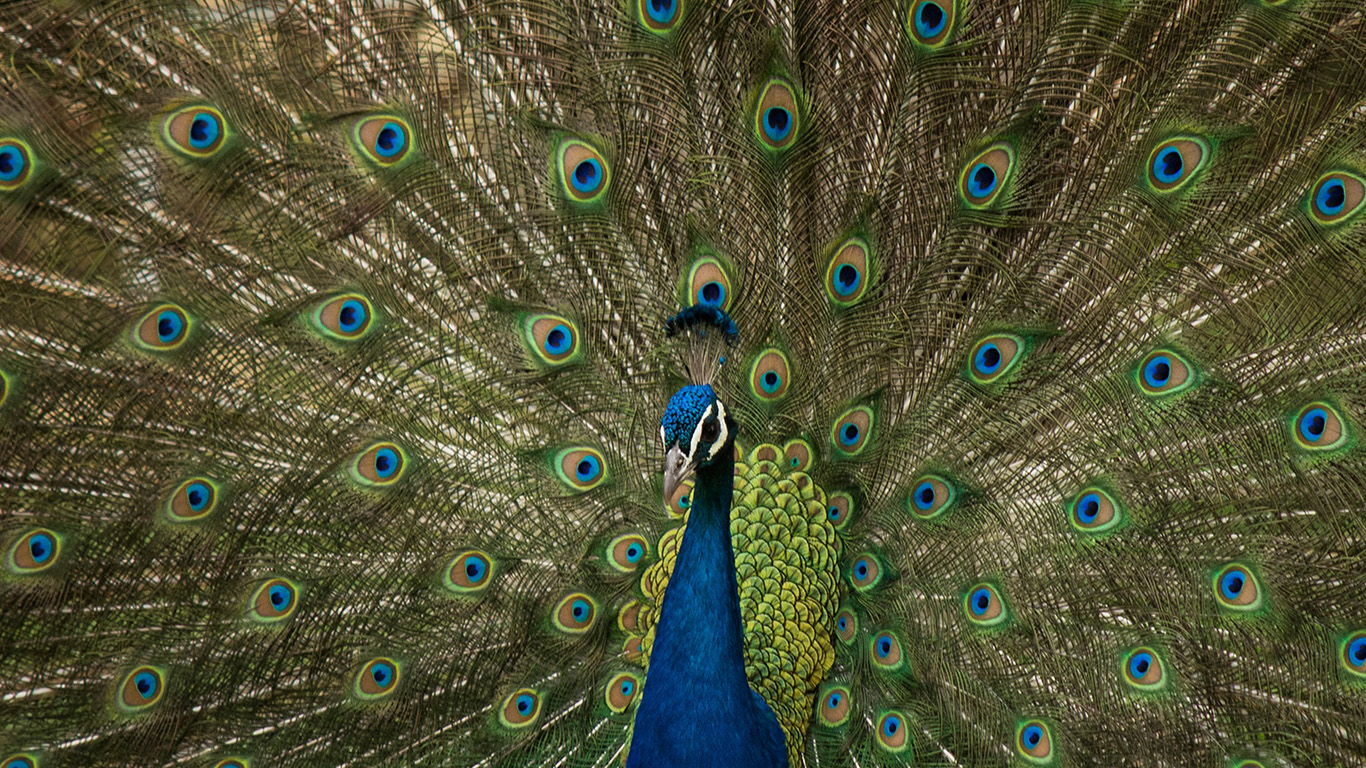 desktop-wallpaper-laptop-mac-macbook-air-ni68-peacock-animal-beautiful-nature-wallpaper