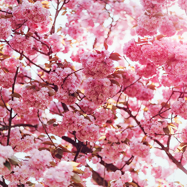 iPapers.co-Apple-iPhone-iPad-Macbook-iMac-wallpaper-ni92-spring-flower-pink-blossom-bokeh-nature-flare-wallpaper