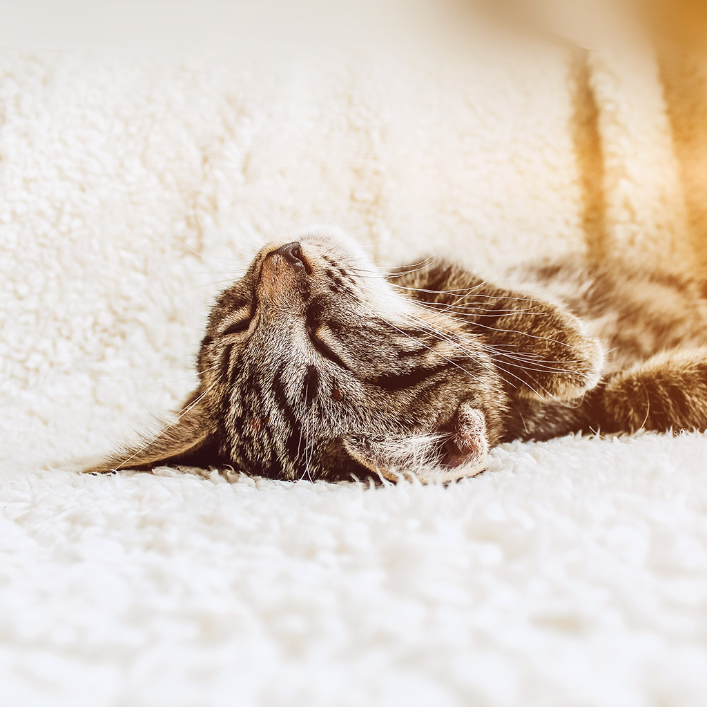 android-wallpaper-ni96-animal-cute-pet-kitten-nap-sleep-flare-wallpaper