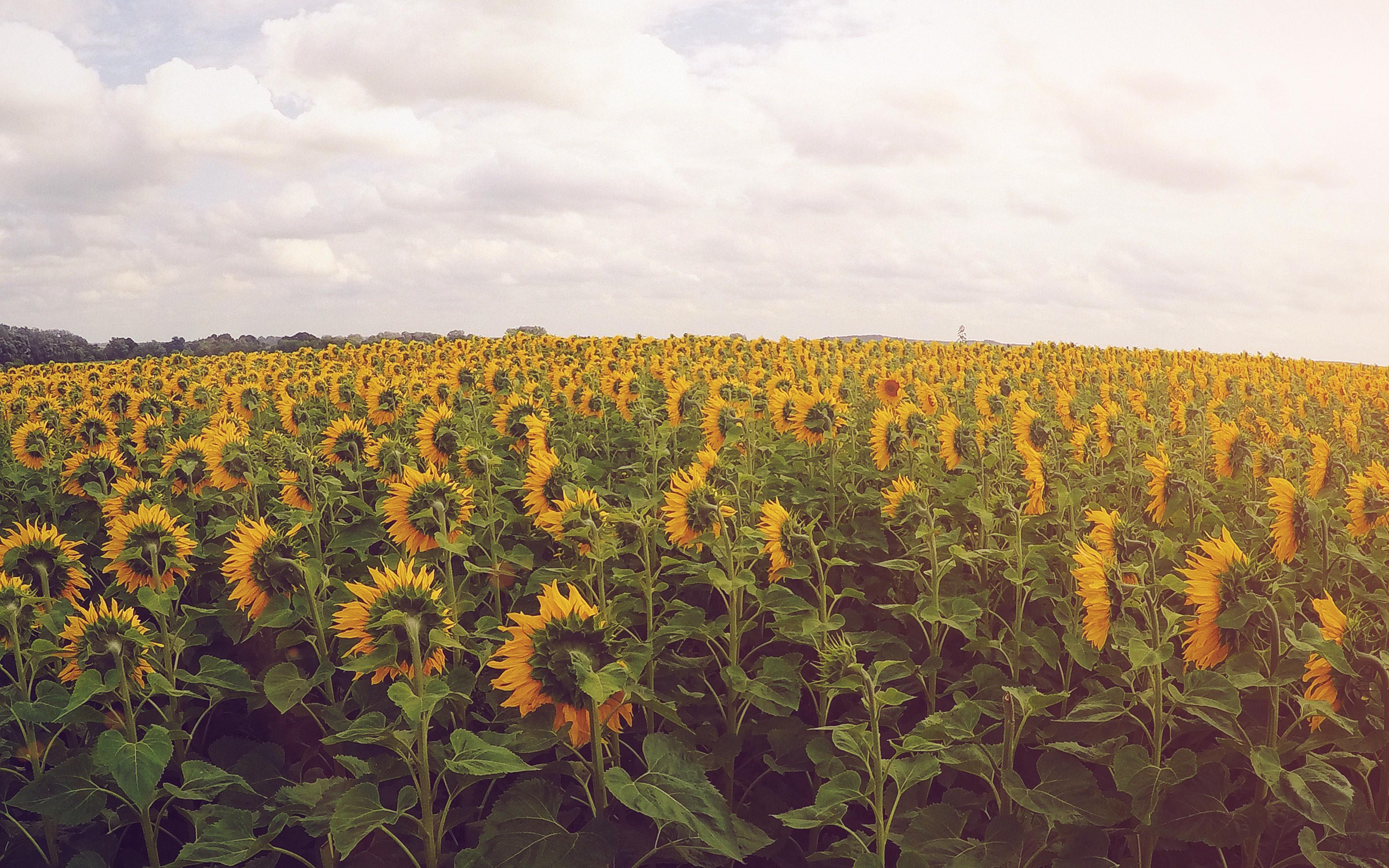 Wallpaper For Desktop Laptop Nj29 Sunflower Field Nature Flower Green Flare