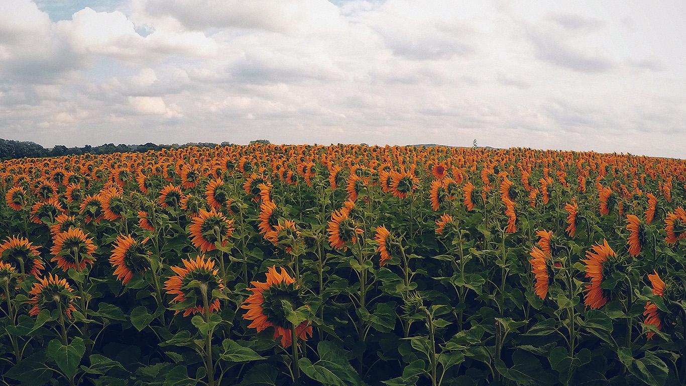 desktop-wallpaper-laptop-mac-macbook-air-nj30-sunflower-field-nature-flower-green-flare-orange-wallpaper