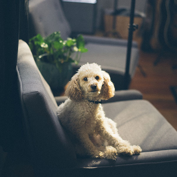 iPapers.co-Apple-iPhone-iPad-Macbook-iMac-wallpaper-nj91-roy-sofa-dog-pet-animal-cute-wallpaper