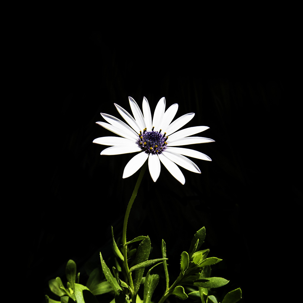 android-wallpaper-nk01-flower-white-spring-wallpaper