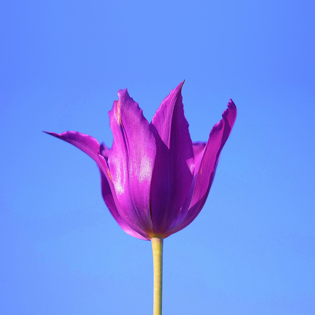 android-wallpaper-nk36-flower-art-minimal-purple-blue-nature-wallpaper