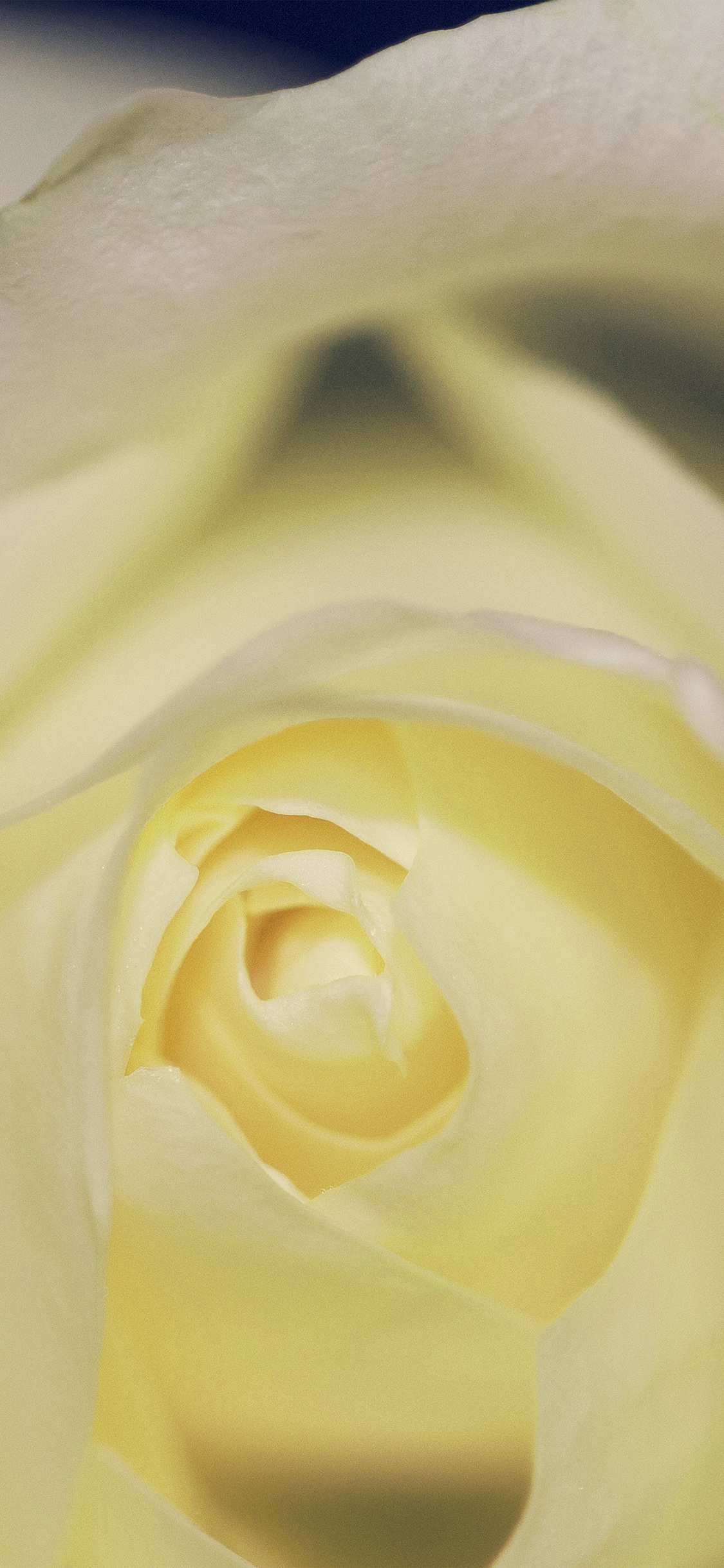 Iphone11papers Com Iphone11 Wallpaper Nk79 Flower Yellow Rose Love
