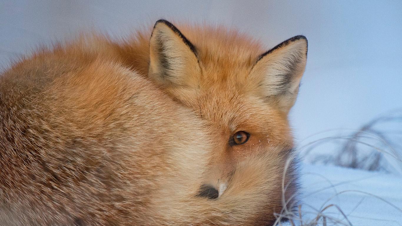 desktop-wallpaper-laptop-mac-macbook-air-nm07-fox-cold-winter-red-nature-wallpaper