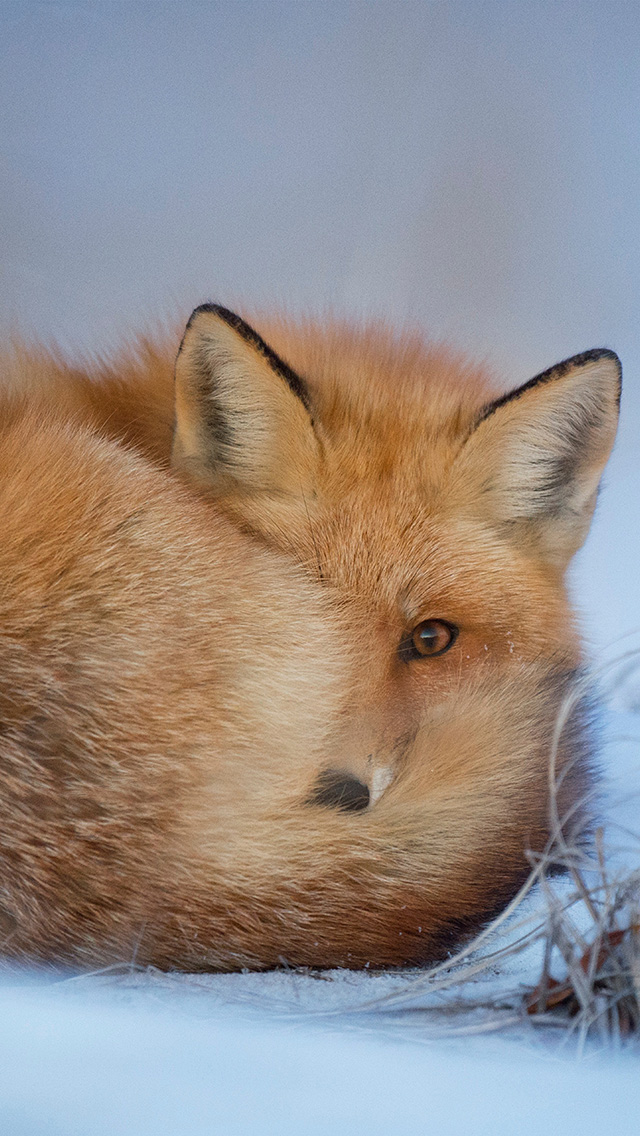 freeios8.com-iphone-4-5-6-plus-ipad-ios8-nm07-fox-cold-winter-red-nature