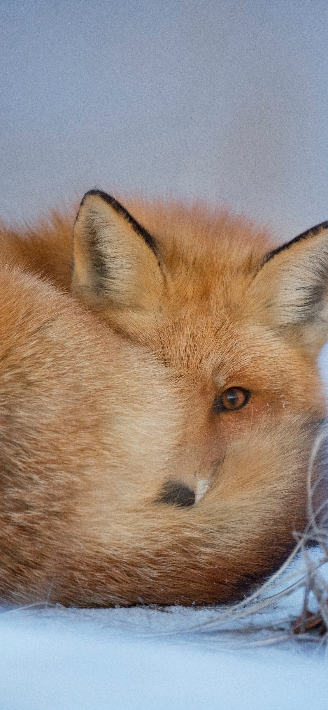 iPhoneXpapers.com-Apple-iPhone-wallpaper-nm07-fox-cold-winter-red-nature