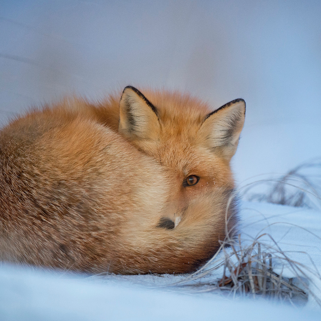 android-wallpaper-nm07-fox-cold-winter-red-nature-wallpaper