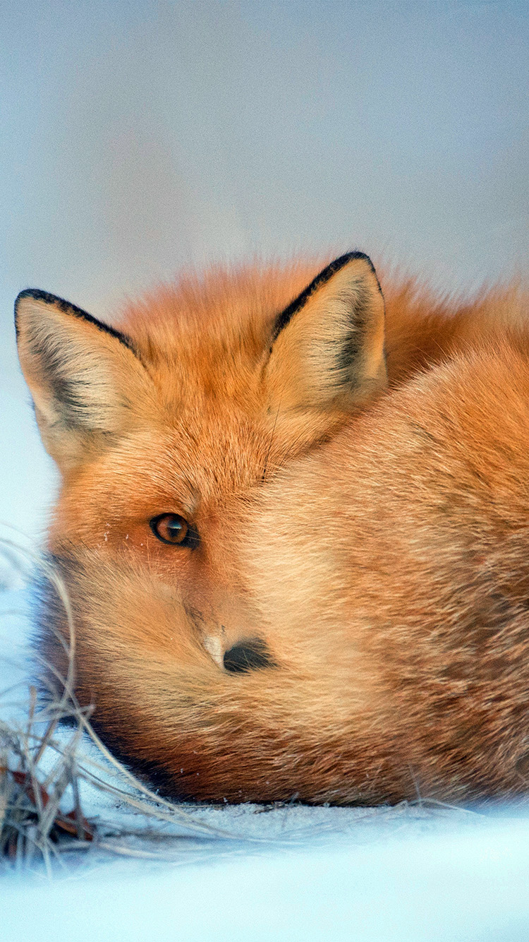 iPhone7papers.com-Apple-iPhone7-iphone7plus-wallpaper-nm08-fox-cold-winter-red-nature-animal