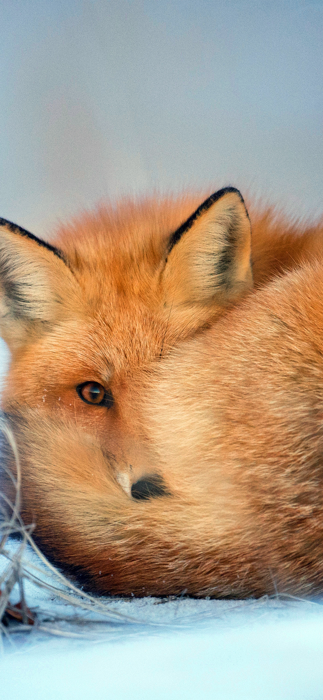 iPhonexpapers.com-Apple-iPhone-wallpaper-nm08-fox-cold-winter-red-nature-animal