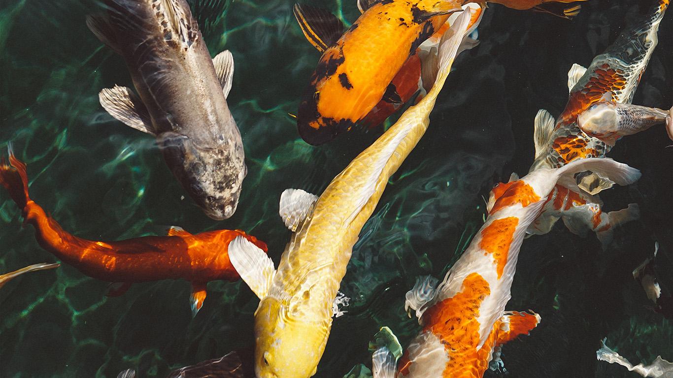 desktop-wallpaper-laptop-mac-macbook-air-nm71-fish-water-animal-swim-wallpaper