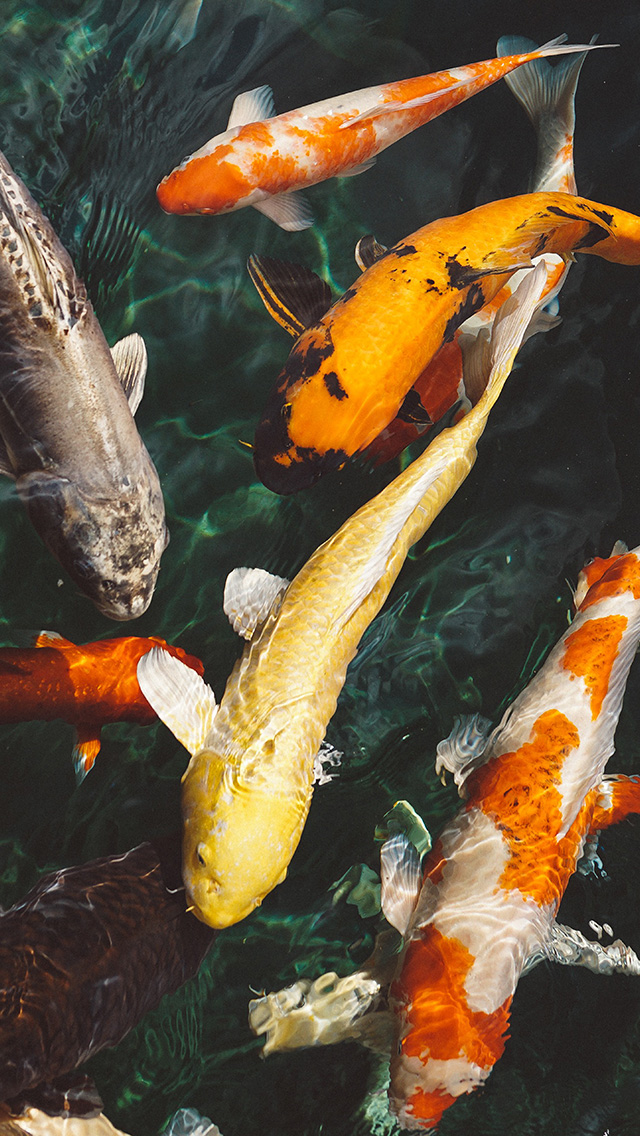 freeios8.com-iphone-4-5-6-plus-ipad-ios8-nm71-fish-water-animal-swim