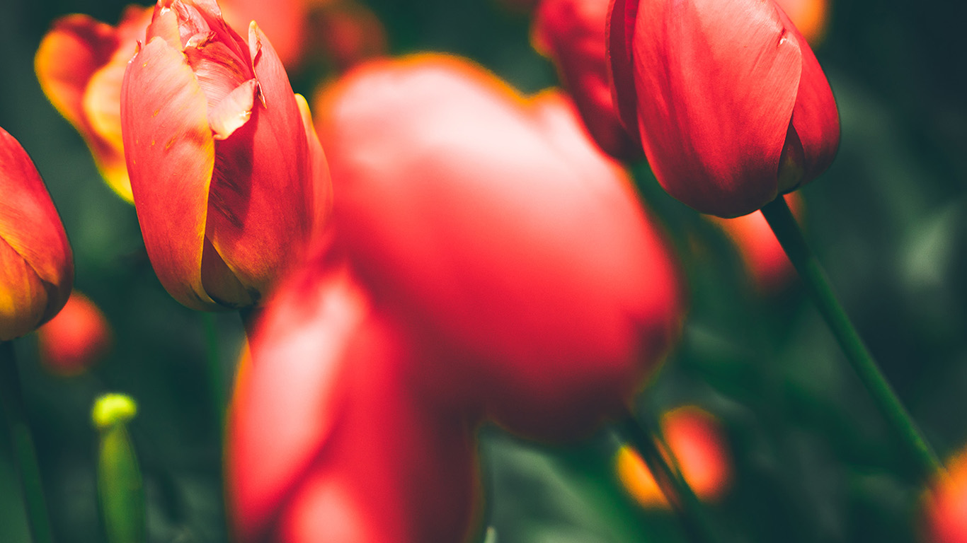 desktop-wallpaper-laptop-mac-macbook-air-nn01-tulips-red-flower-nature-spring-wallpaper