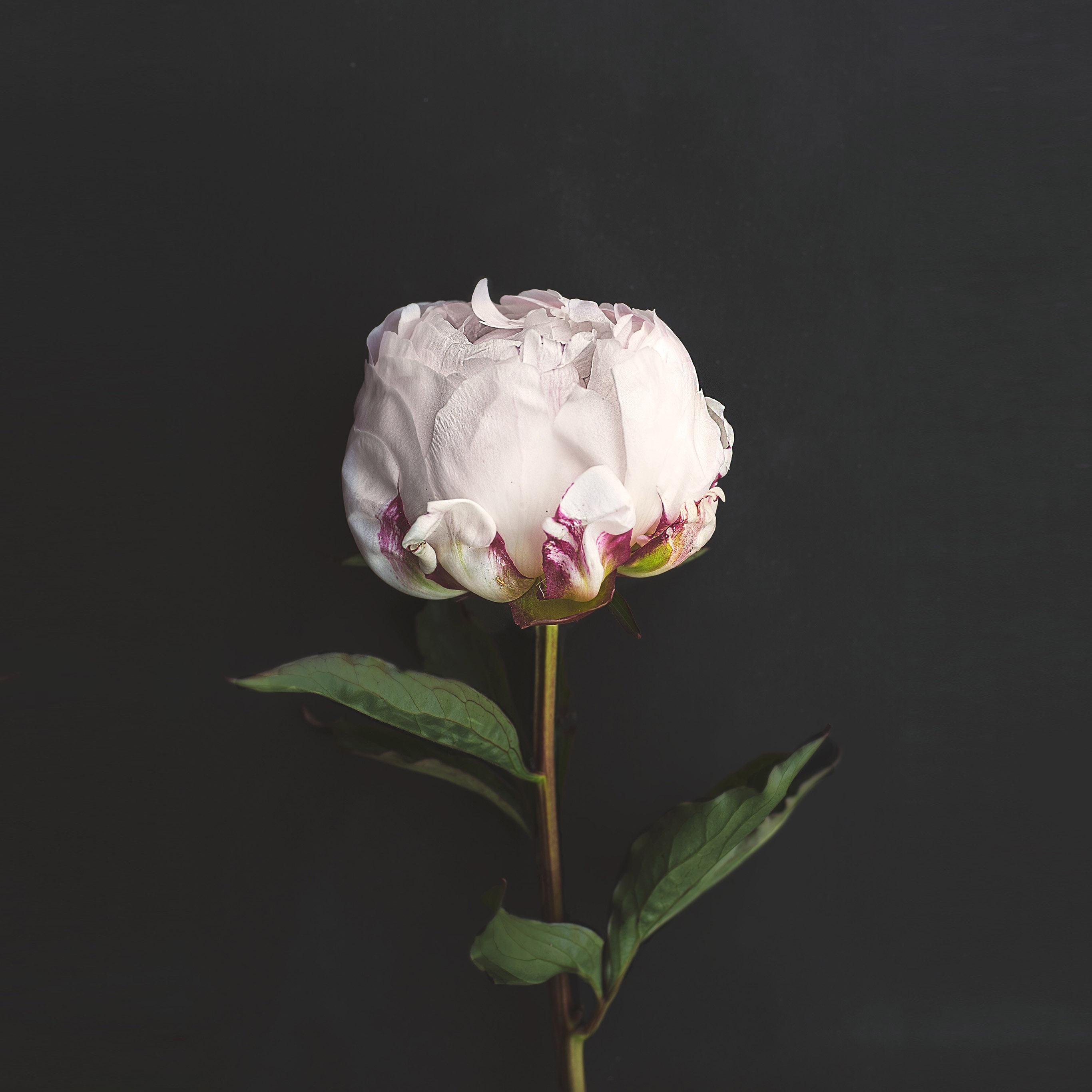 Nn37 Flower White Dark Nature Wallpaper