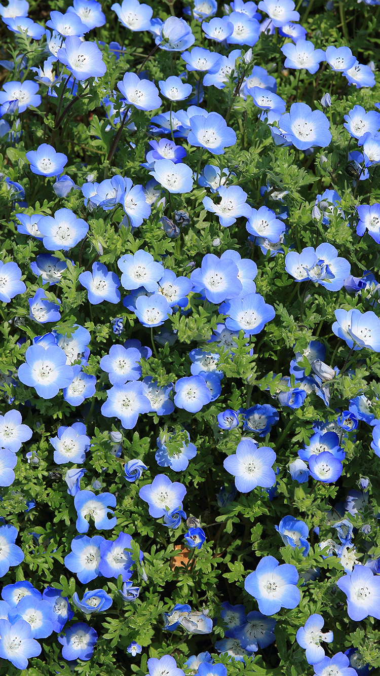 Papers.co-iPhone5-iphone6-plus-wallpaper-nn48-flower-spring-blue-nature