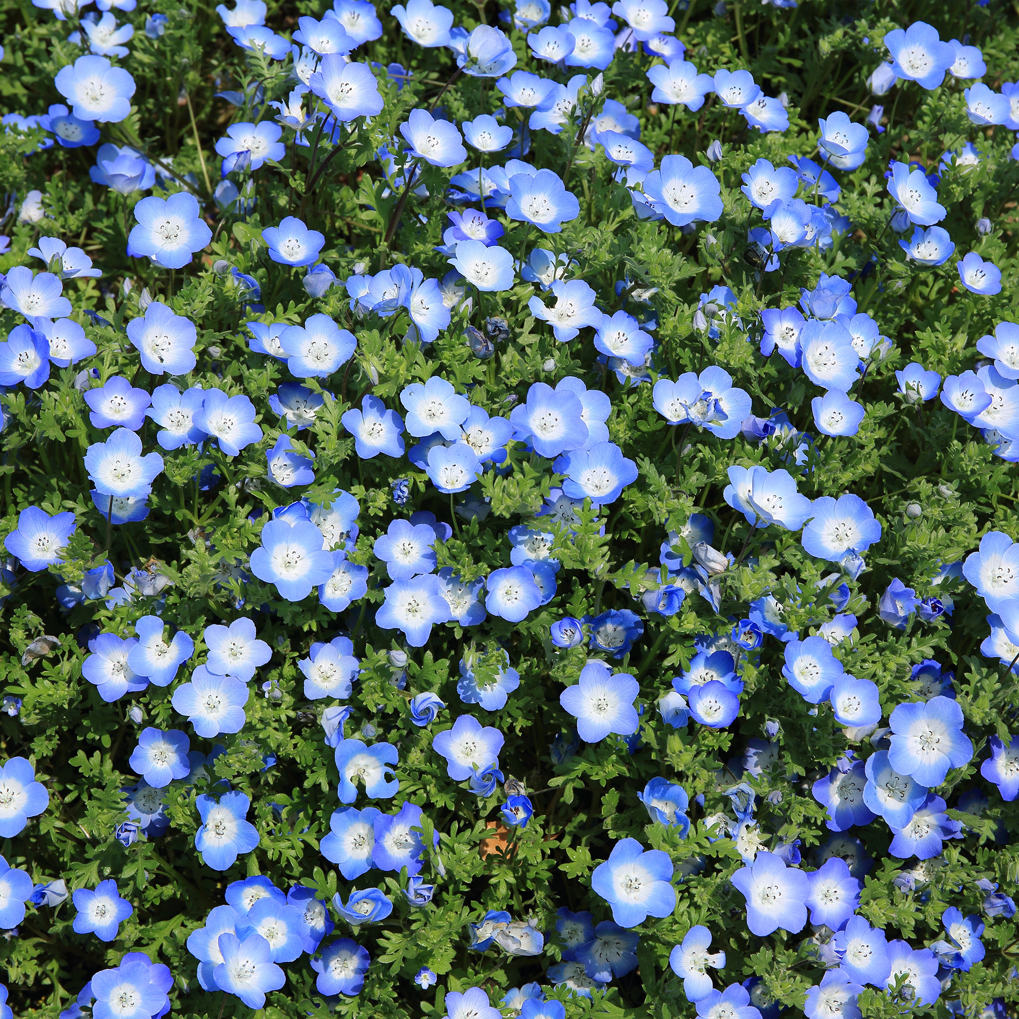 butter spring blue wallpaper - photo #2