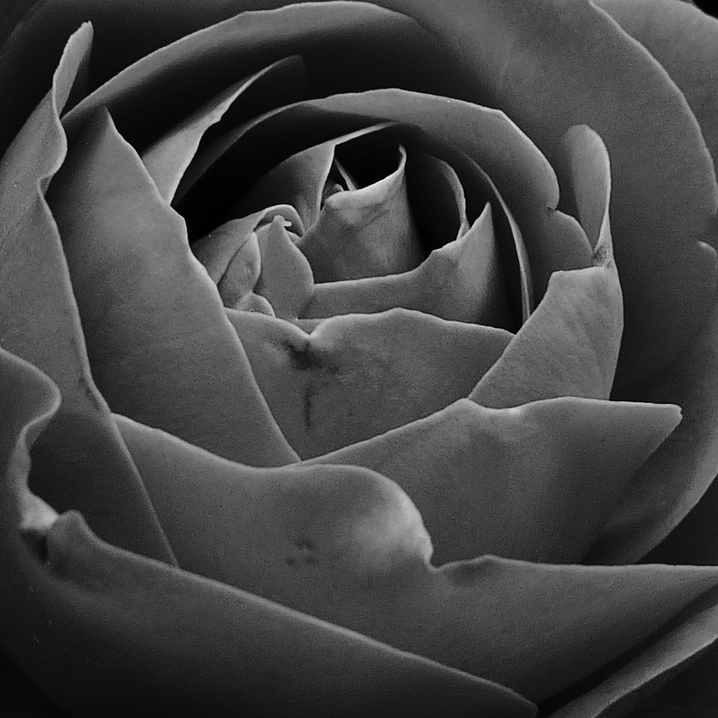 wallpaper-nn79-rose-bw-dark-nature-flower-wallpaper