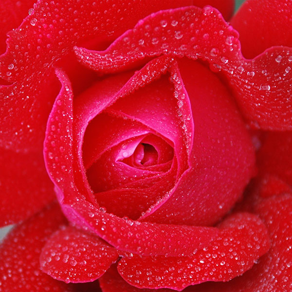 iPapers.co-Apple-iPhone-iPad-Macbook-iMac-wallpaper-no95-rose-red-rain-zoom-closeup-nature-wallpaper