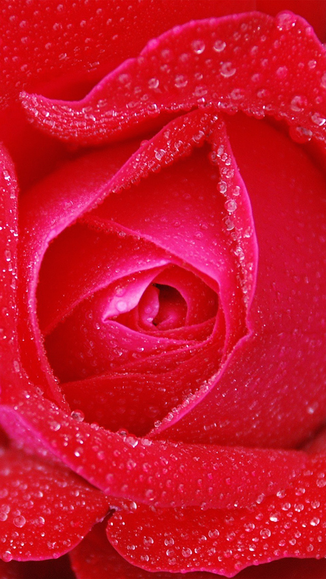 freeios8.com-iphone-4-5-6-plus-ipad-ios8-no95-rose-red-rain-zoom-closeup-nature