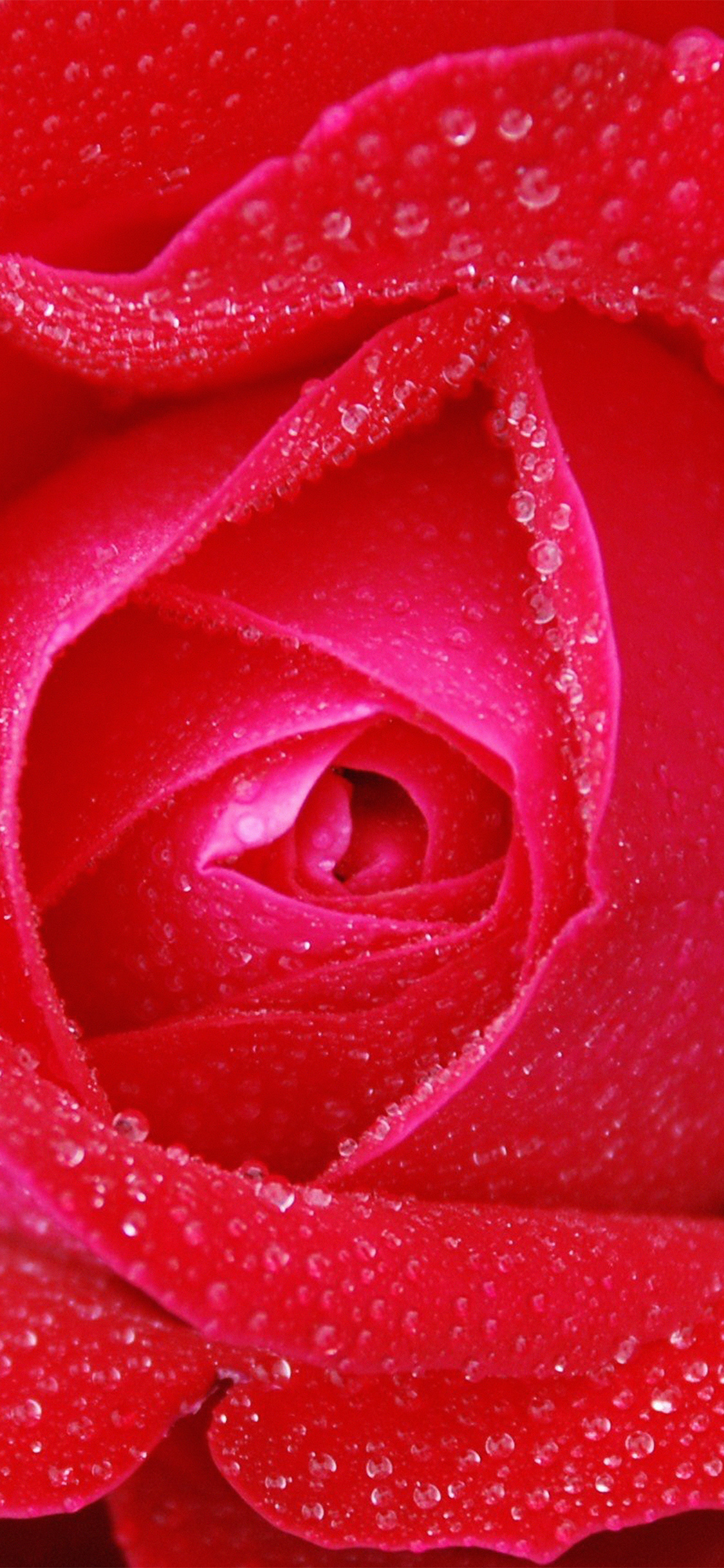 iPhoneXpapers.com-Apple-iPhone-wallpaper-no95-rose-red-rain-zoom-closeup-nature