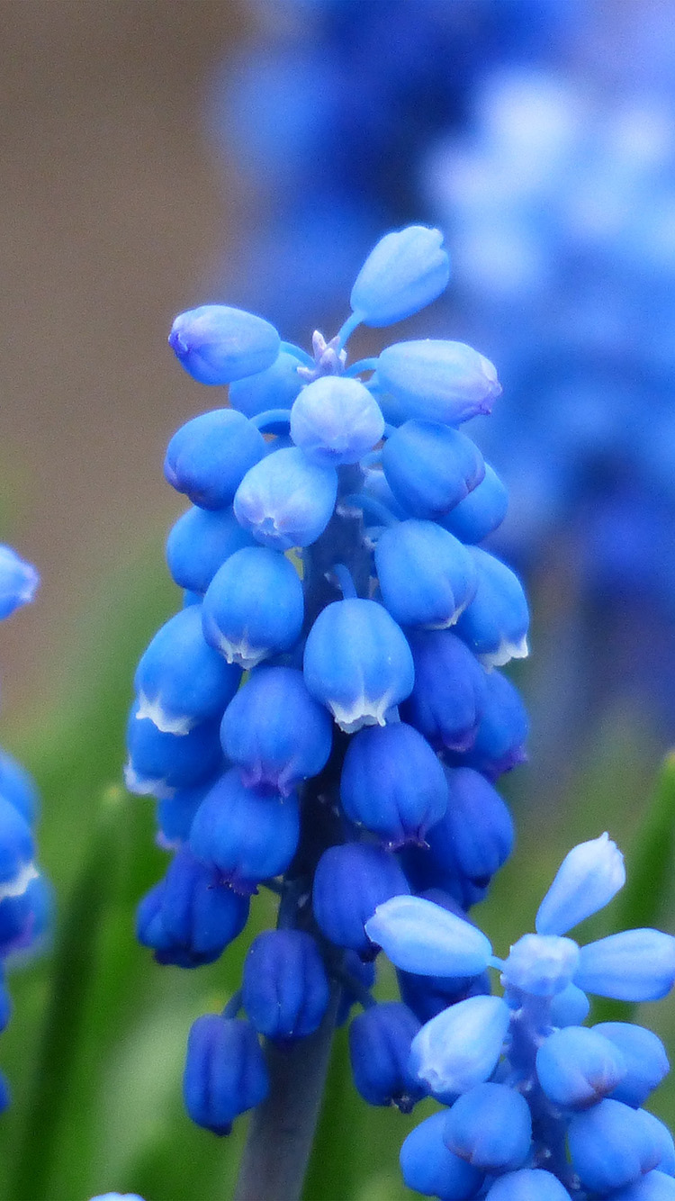 iPhone6papers.co-Apple-iPhone-6-iphone6-plus-wallpaper-np45-flower-muscari-grape-hyacinth-blossom-nature