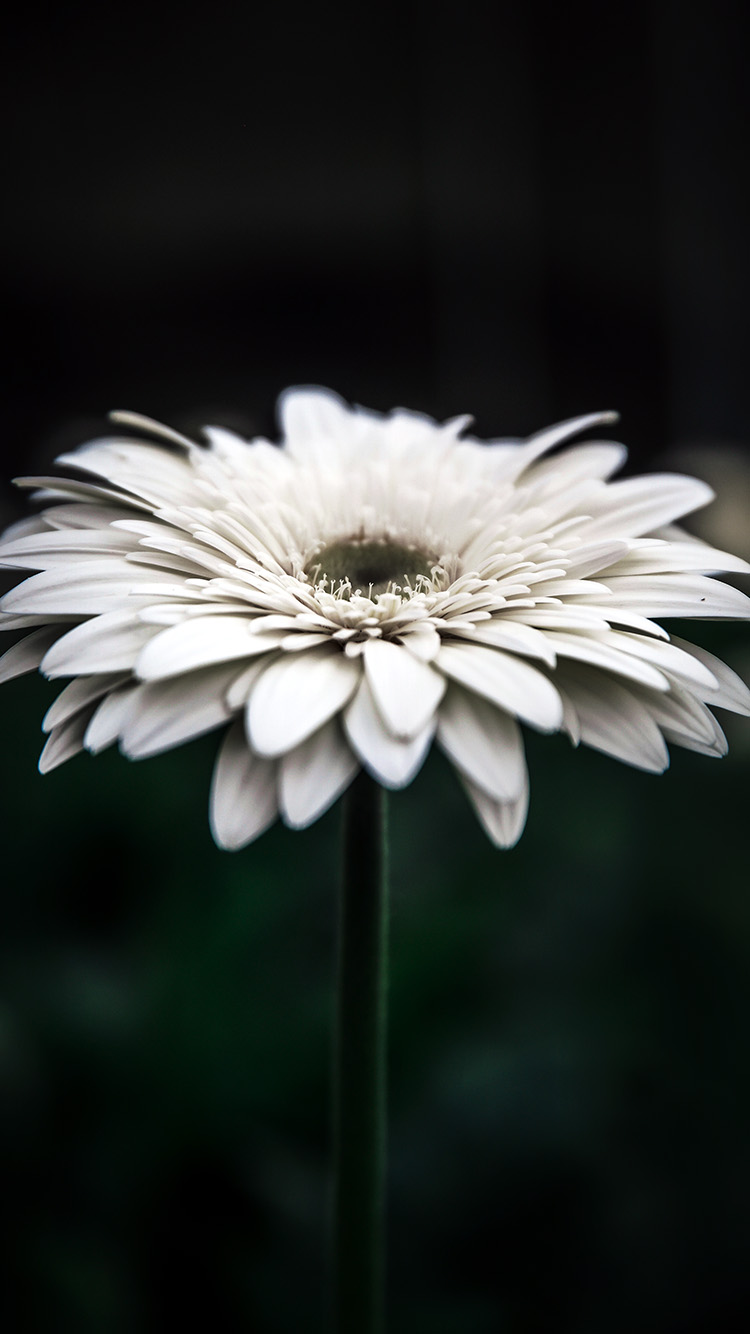 Papers.co-iPhone5-iphone6-plus-wallpaper-np66-flower-dark-bokeh-white-nature