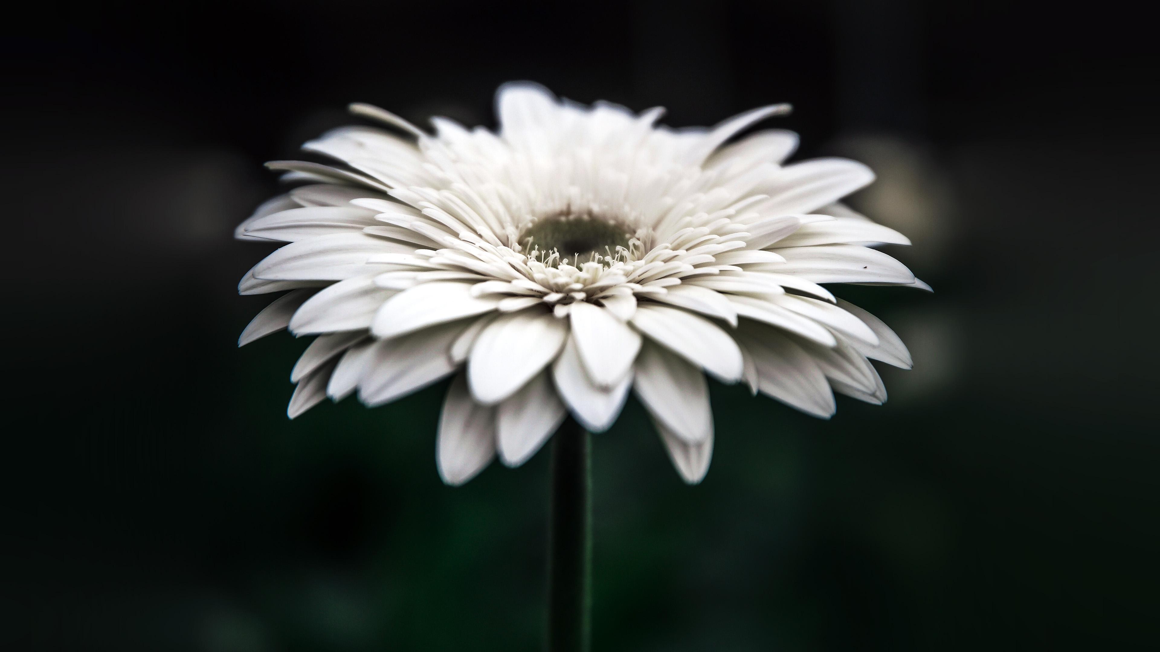 Np66 Flower Dark Bokeh White Nature Wallpaper