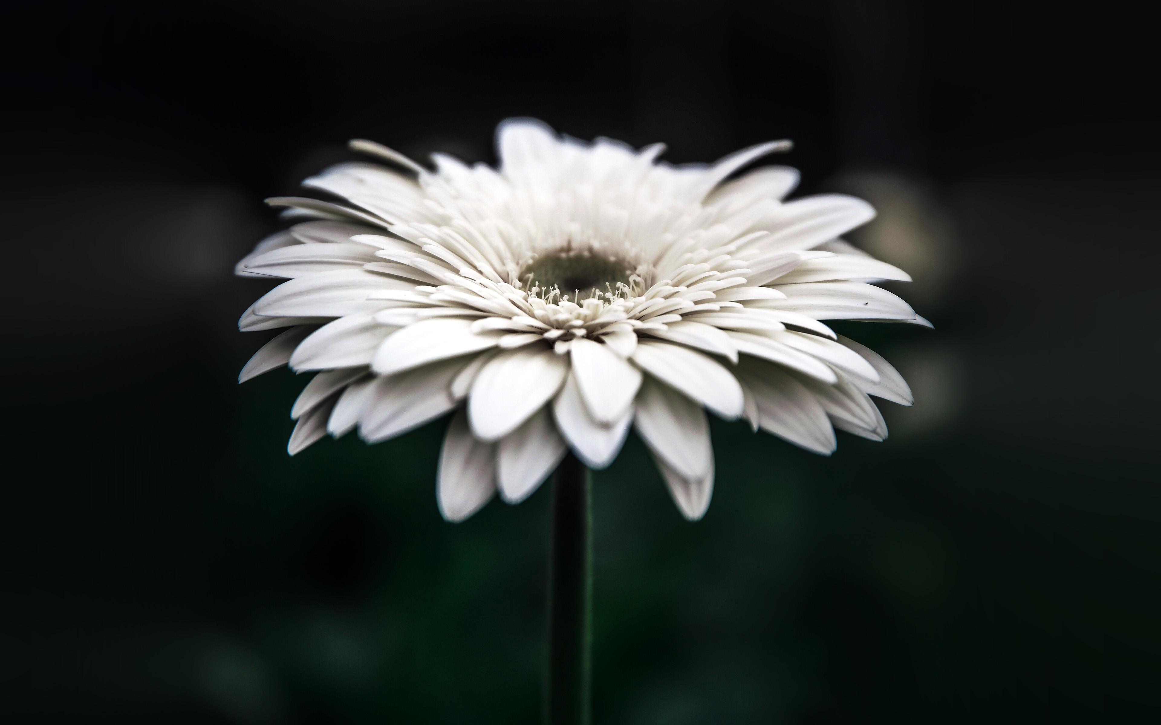 Wallpaper For Desktop Laptop Np66 Flower Dark Bokeh White Nature