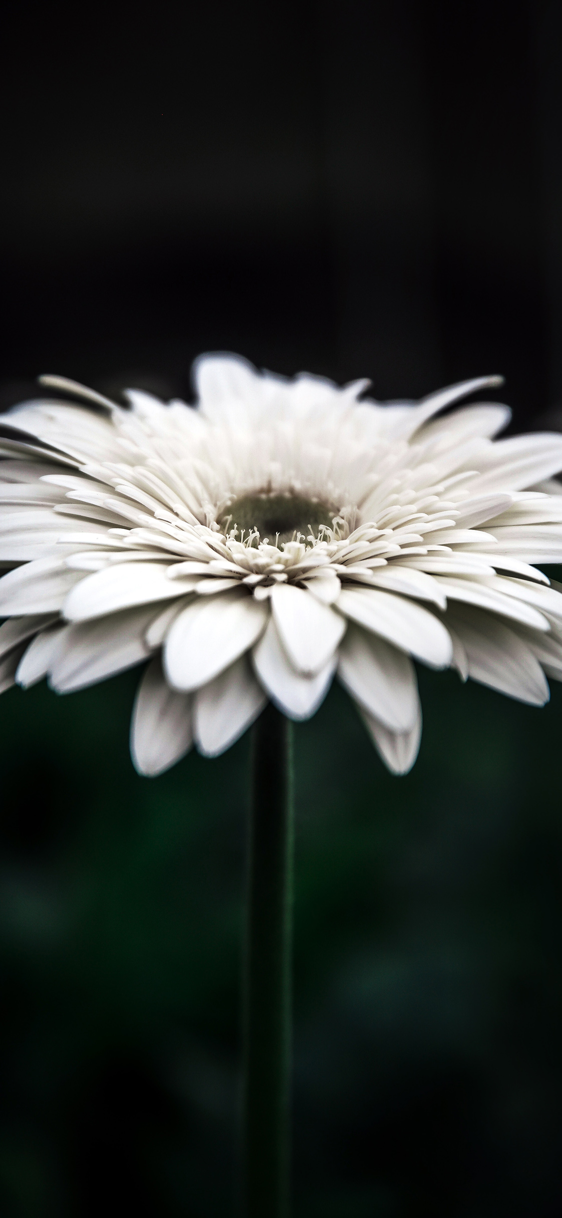 Np66 Flower Dark Bokeh White Nature