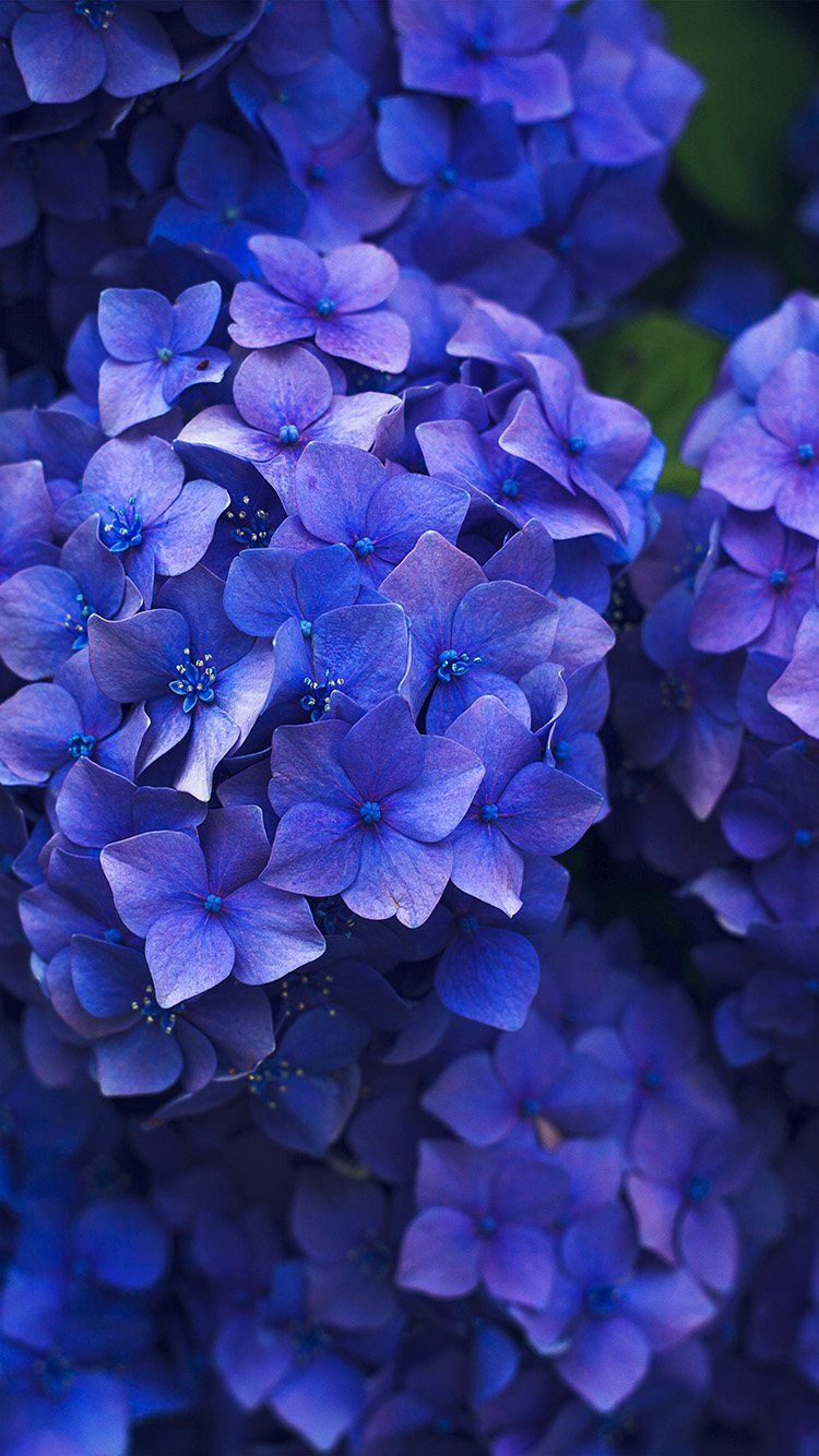 iPhone6papers.co-Apple-iPhone-6-iphone6-plus-wallpaper-nr08-flower-spring-blue-purple-nature