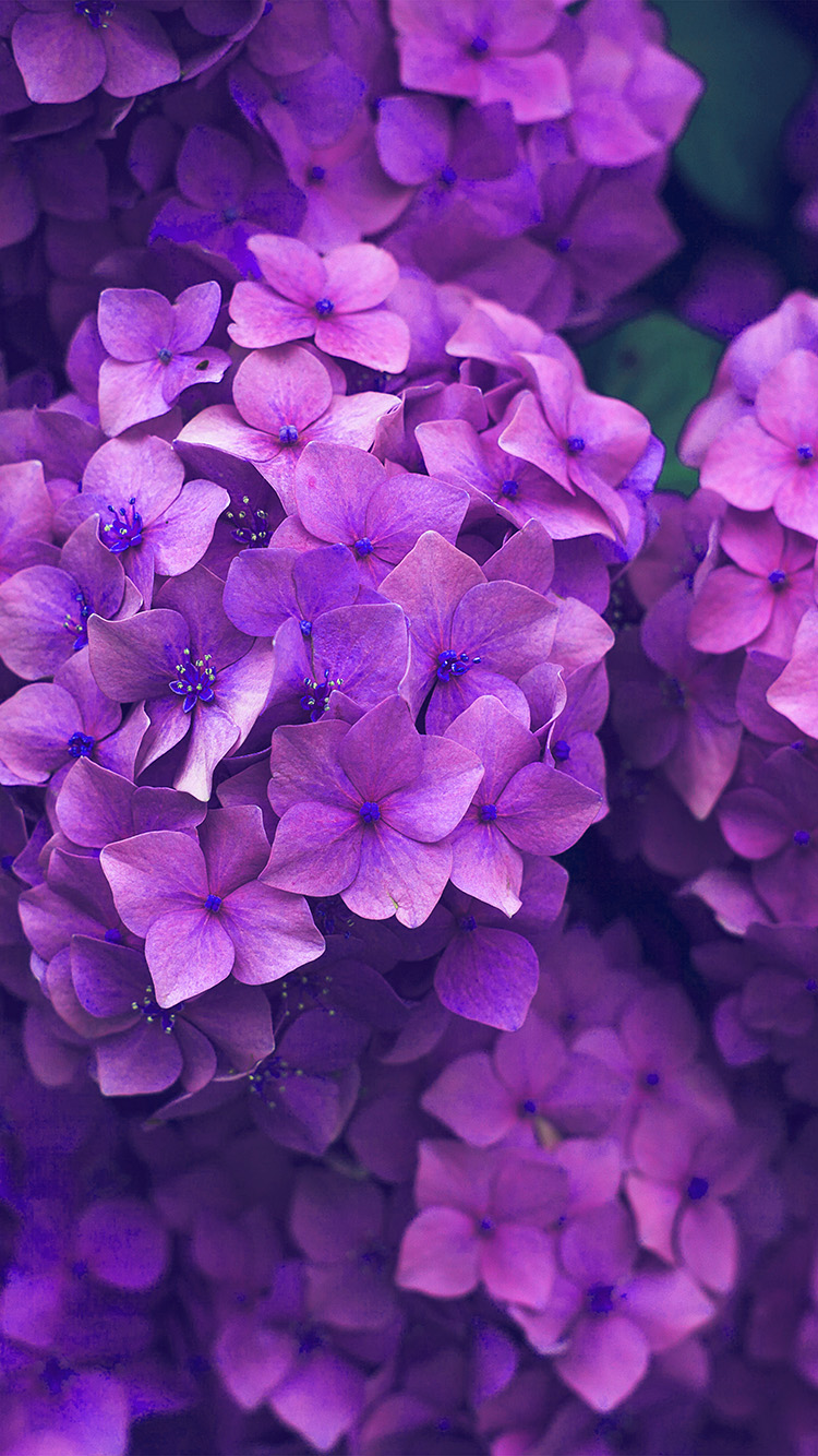 iPhone7papers.com-Apple-iPhone7-iphone7plus-wallpaper-nr09-flower-spring-pink-purple-nature