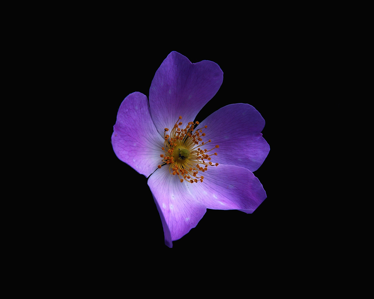 Nr38-macro-flower-dark-purple-nature-wallpaper