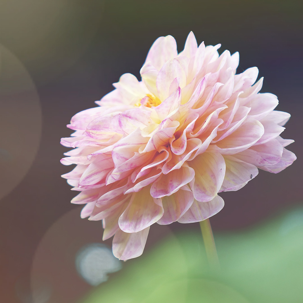 wallpaper-ns43-flower-pink-nature-wallpaper