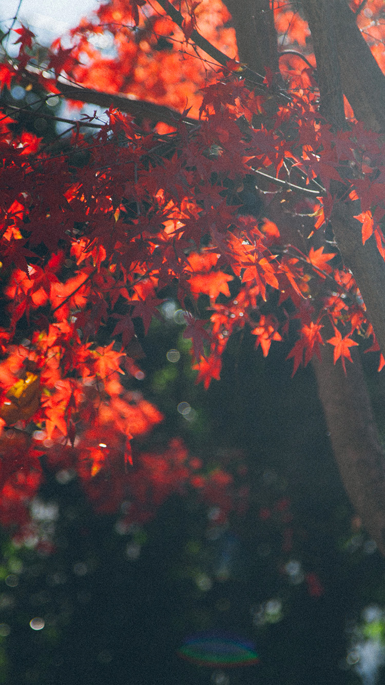 iPhone6papers.co-Apple-iPhone-6-iphone6-plus-wallpaper-nt22-fall-tree-autumn-nature