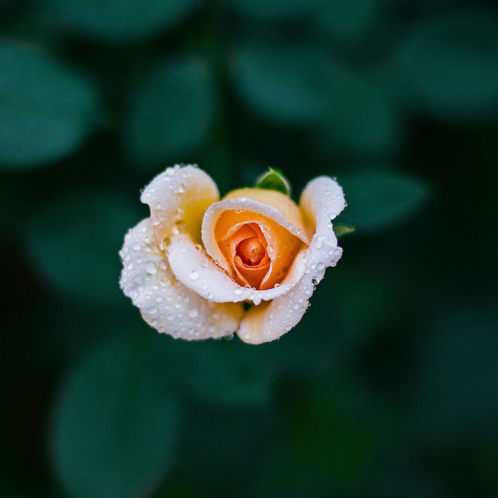 wallpaper-nu27-flower-rose-summer-nature-wallpaper
