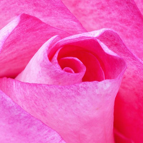 iPapers.co-Apple-iPhone-iPad-Macbook-iMac-wallpaper-nu90-flower-red-pink-rose-love-nature-wallpaper