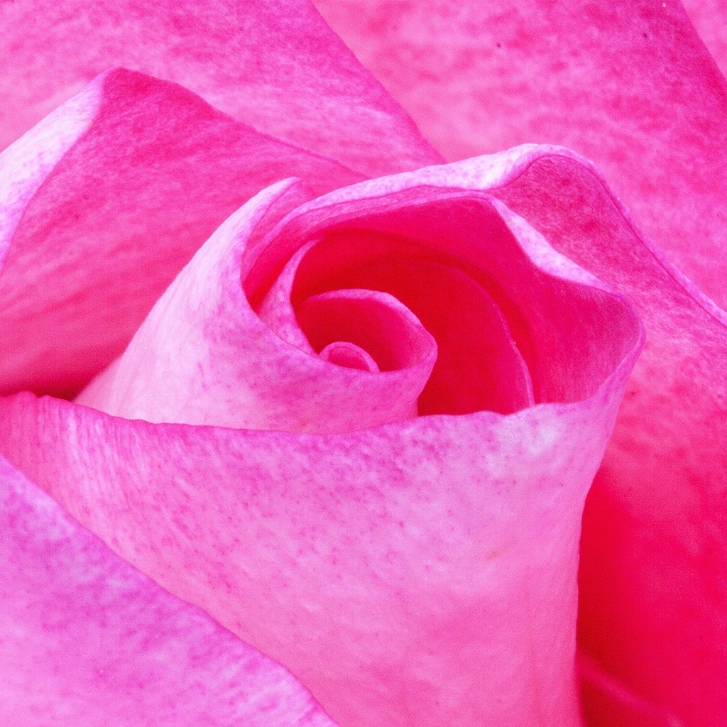 wallpaper-nu90-flower-red-pink-rose-love-nature-wallpaper