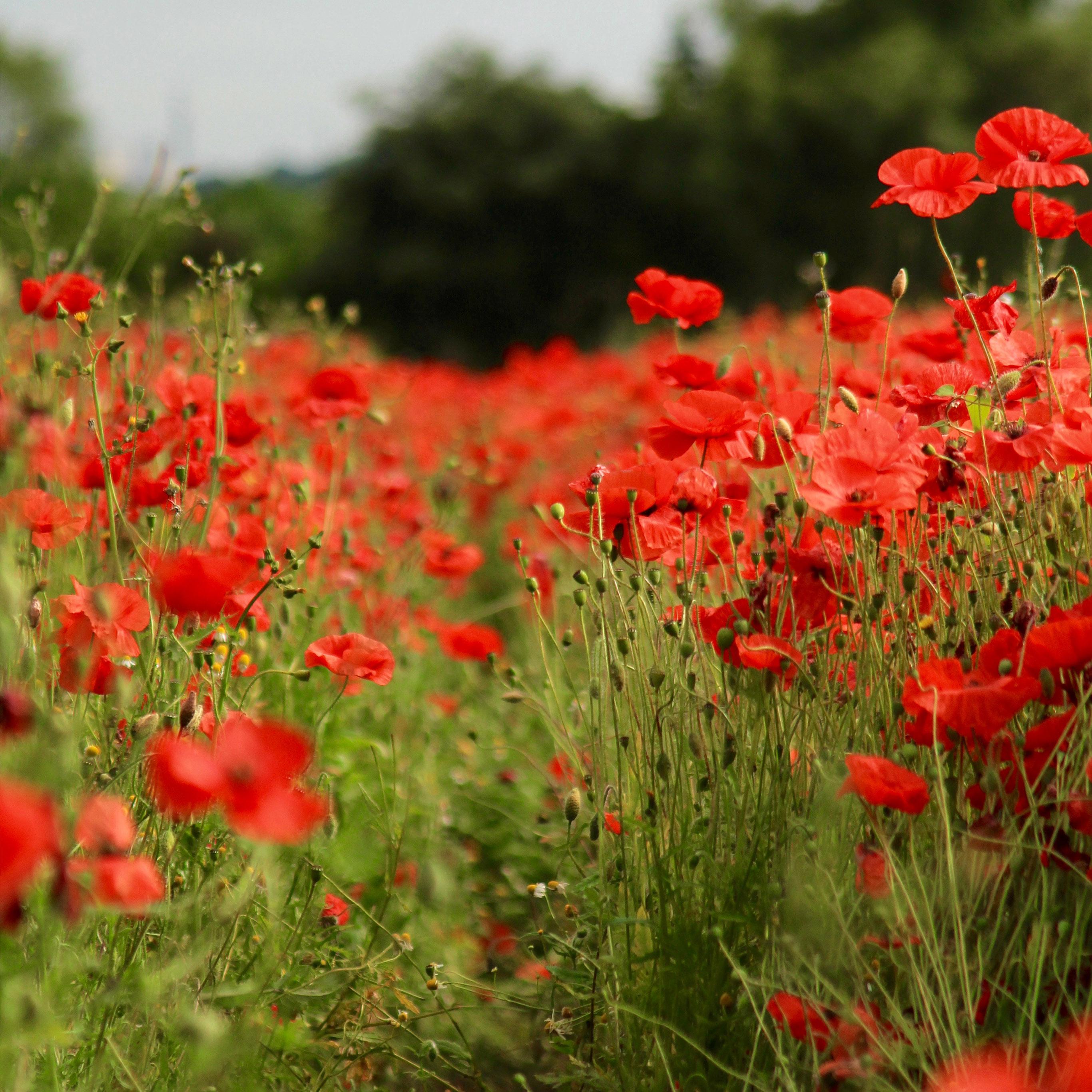 Nv39 Flower Red Spring Nature Wallpaper