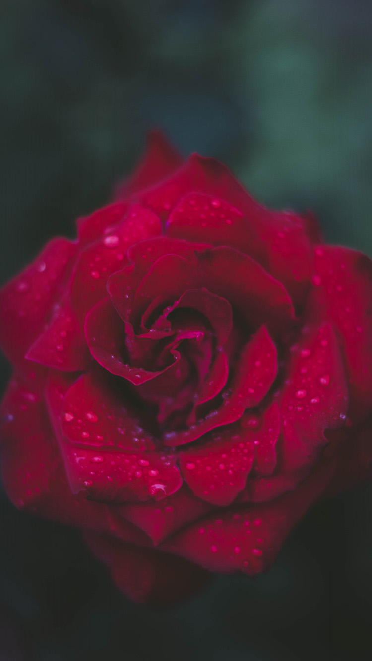 papers.co nv54 rose red flower nature 33 iphone6 wallpaper