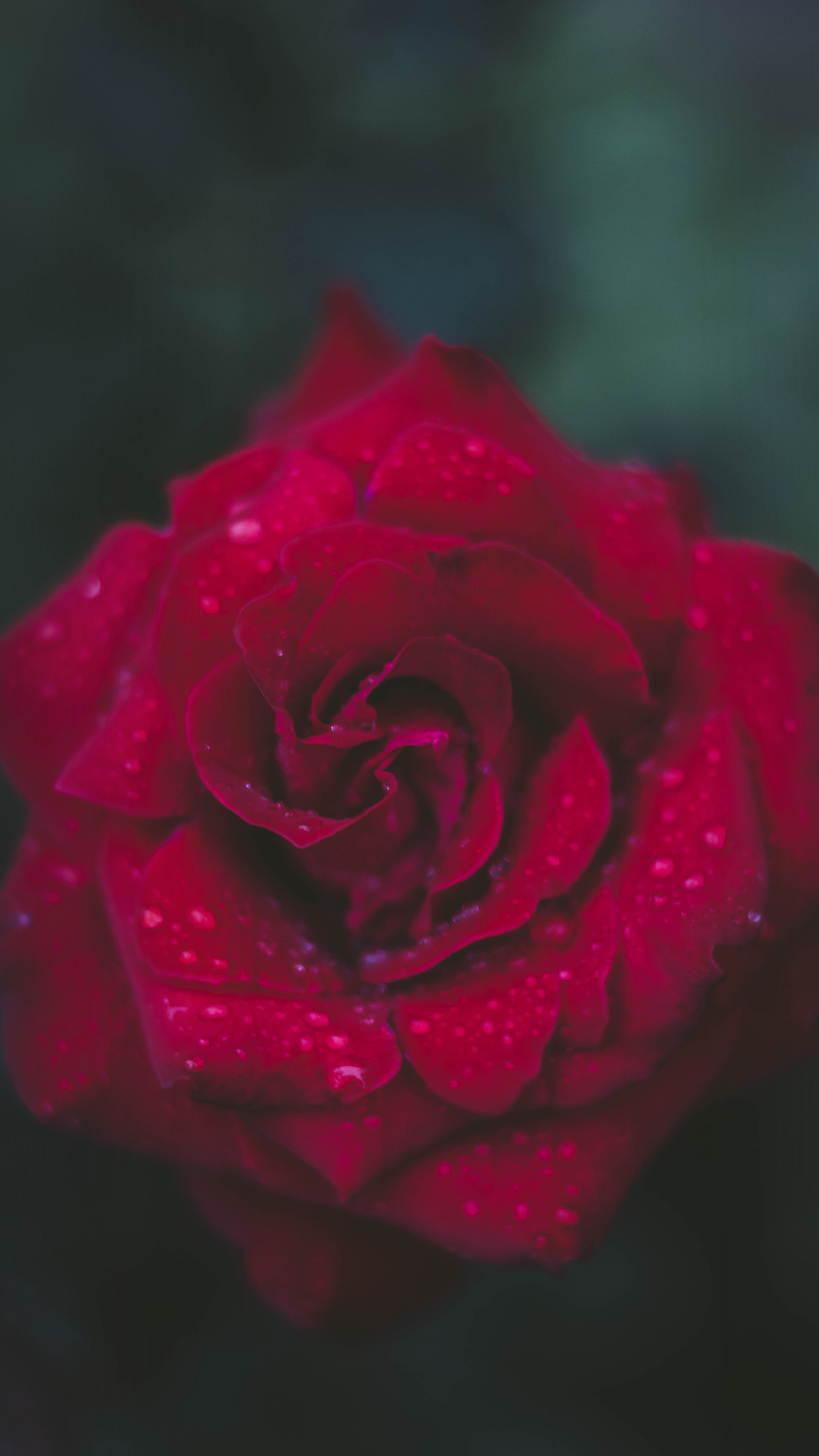 Papers Co Iphone Wallpaper Nv54 Rose Red Flower Nature