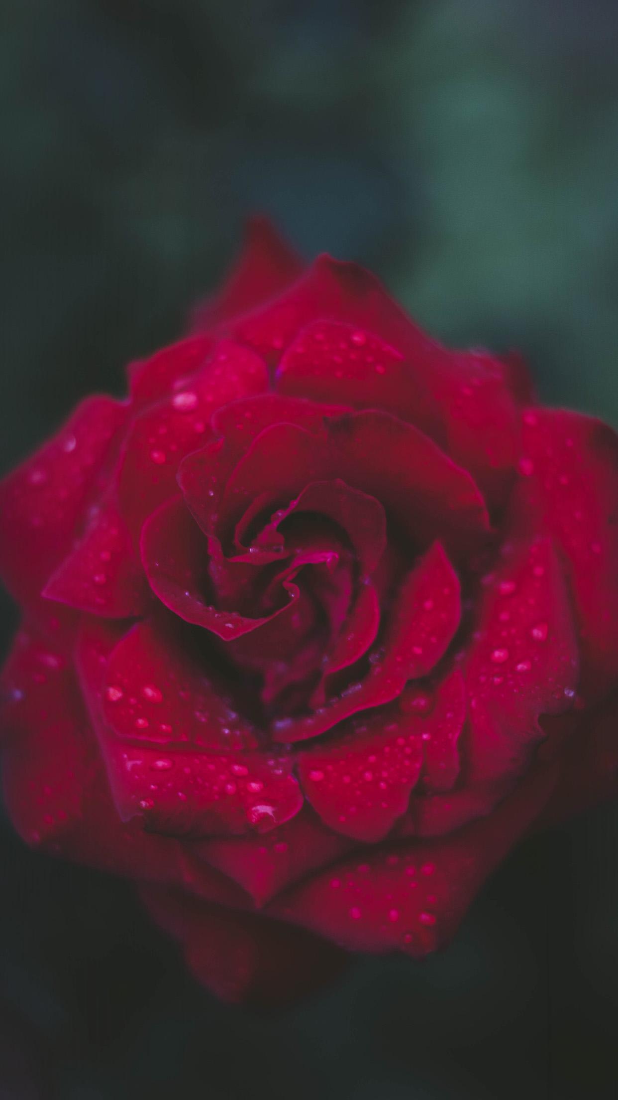 Rose Flower Wallpaper Download  Group
