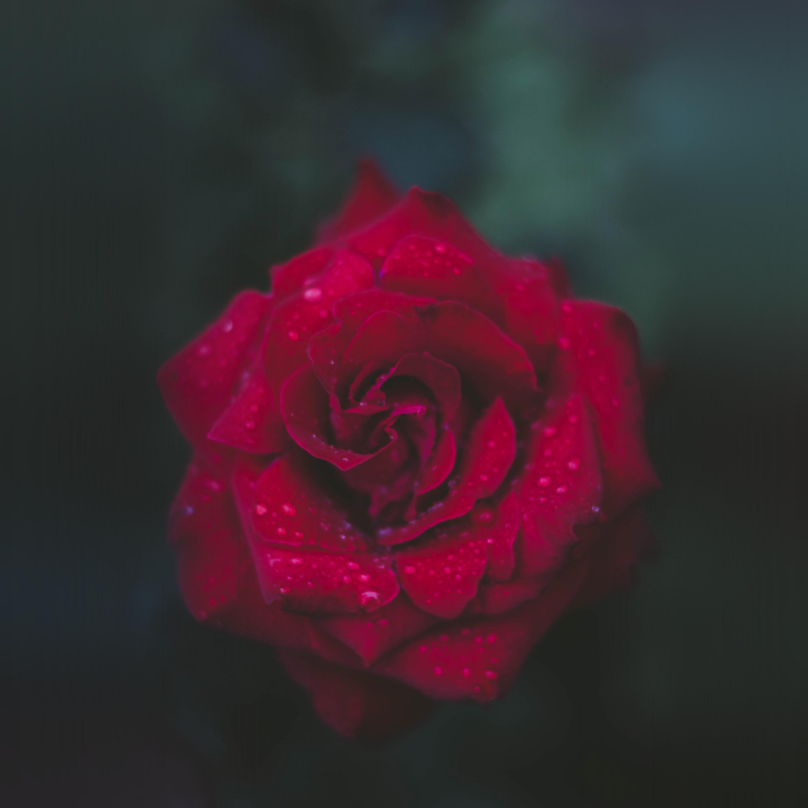 Nv54 Rose Red Flower Nature Wallpaper