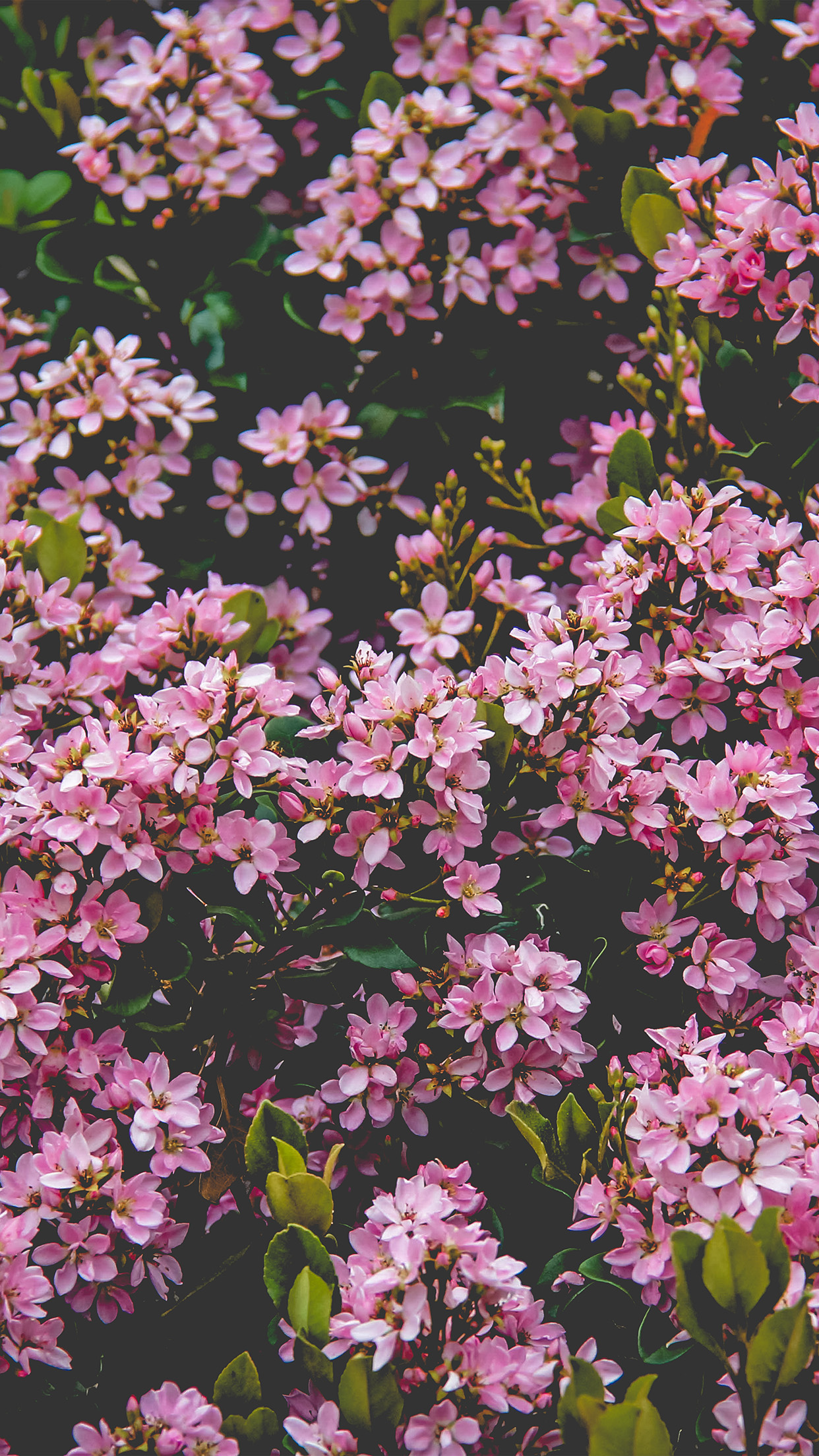 Nv68 Flower Pink Spring Happy Nature Wallpaper