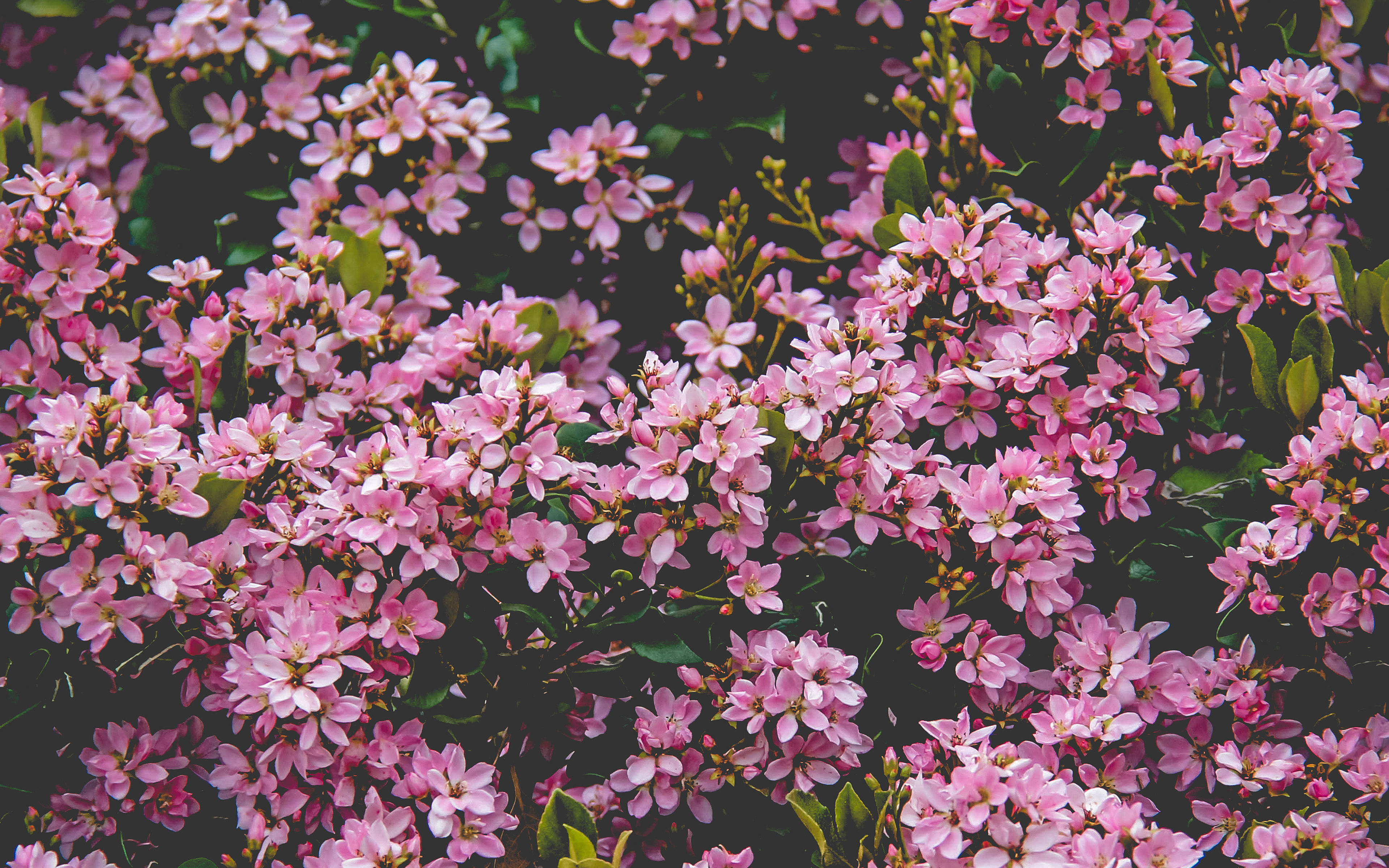nv68-flower-pink-spring-happy-nature-wallpaper