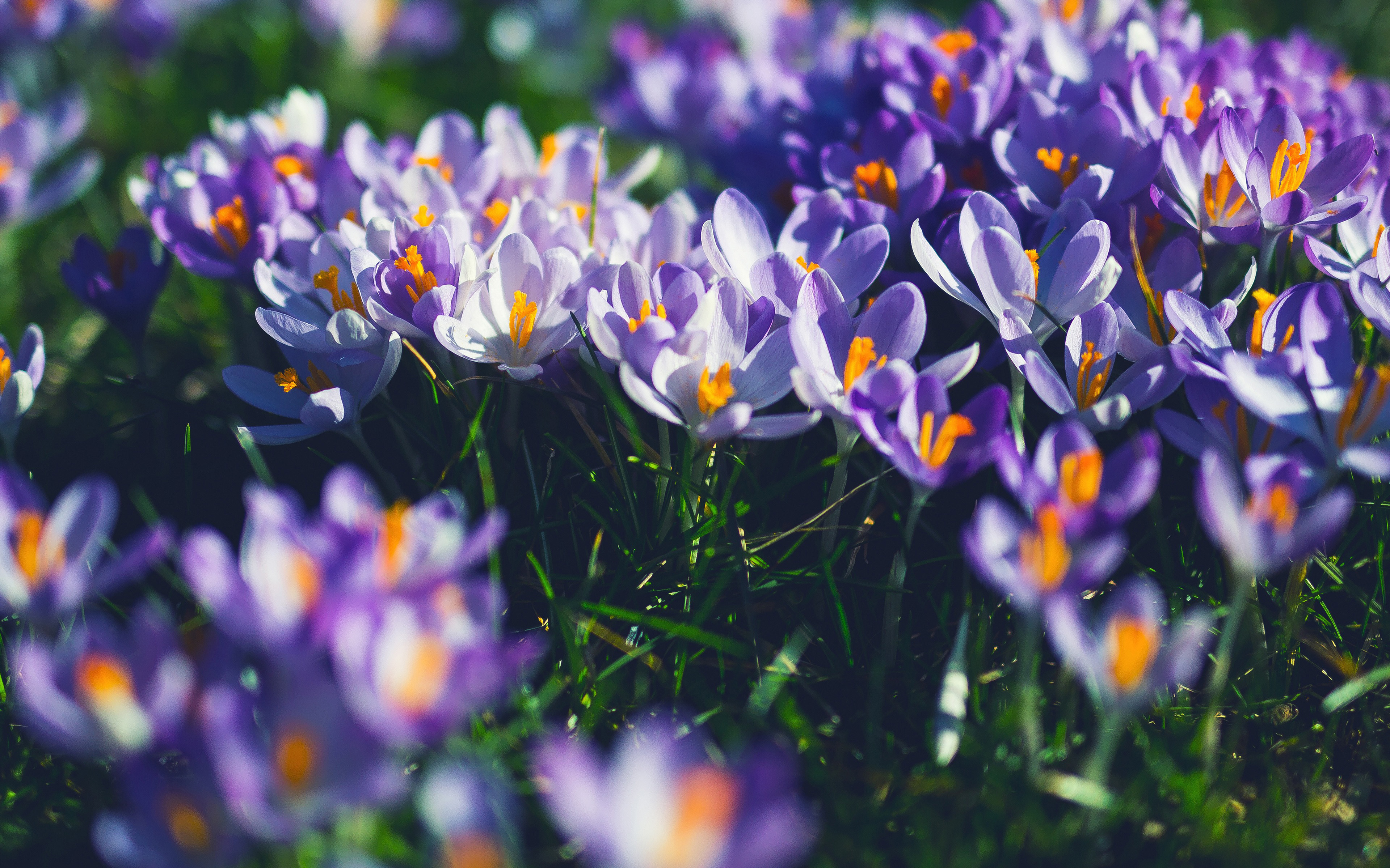 nw04-flower-purple-spring-nature-wallpaper