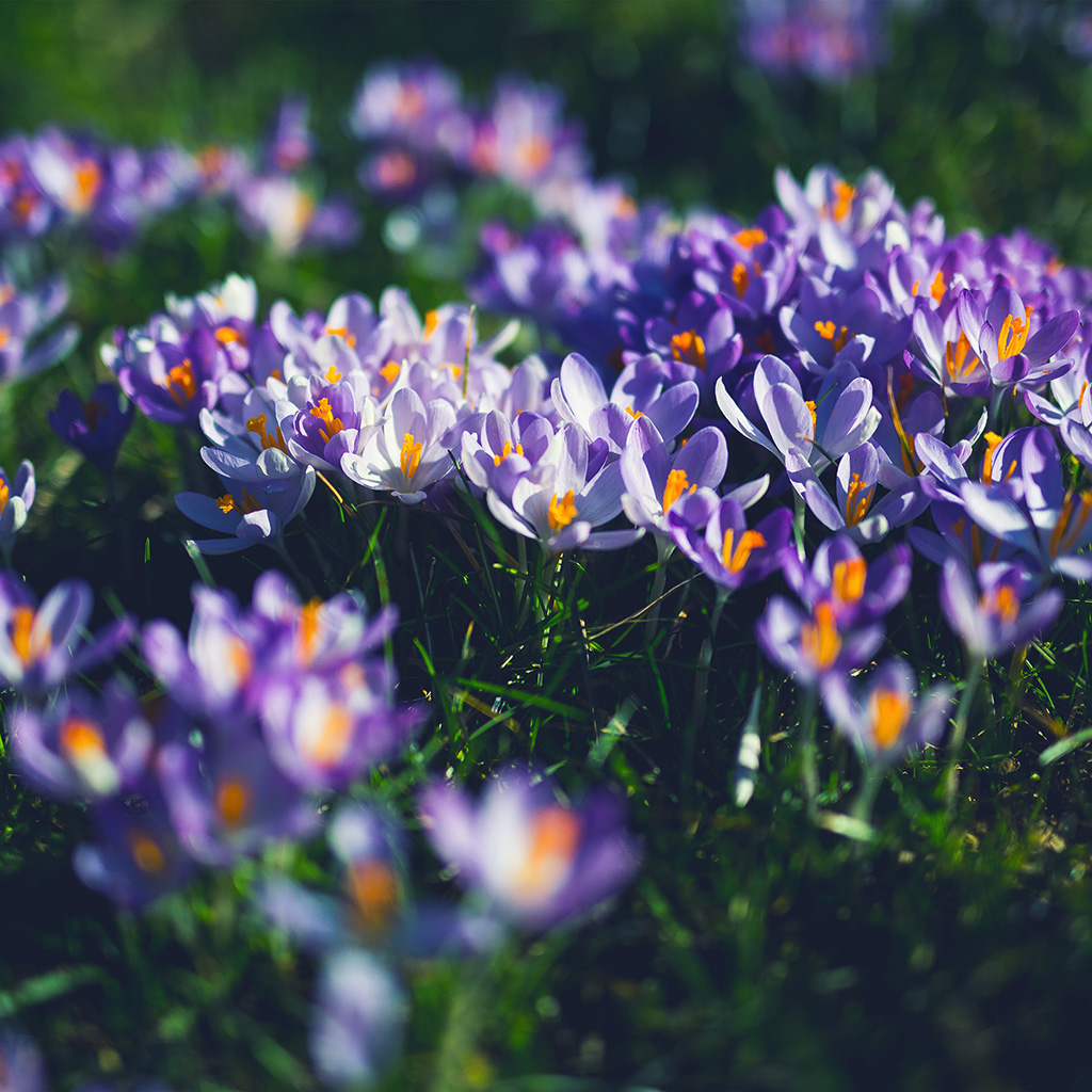 wallpaper-nw04-flower-purple-spring-nature-wallpaper