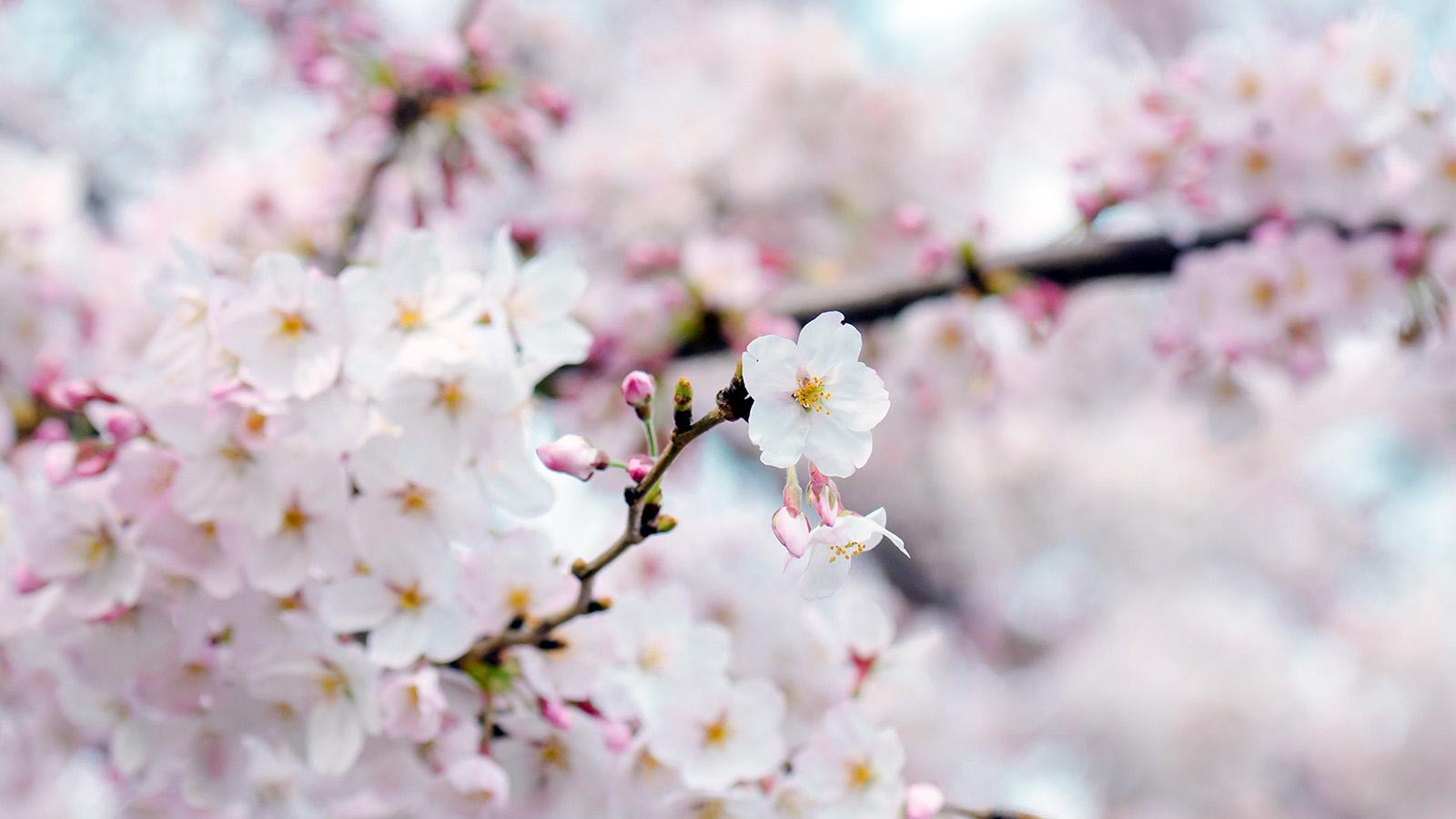 i love papers nx70cherryblossomflowerspringtree